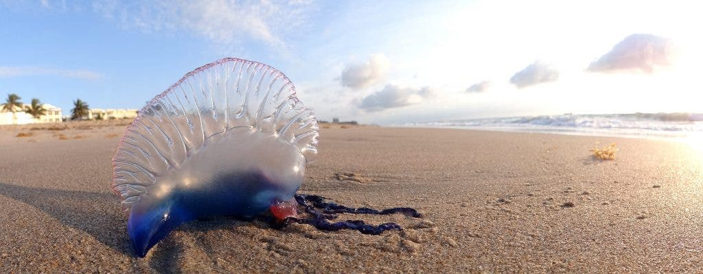 what is war The portuguese man o' war, (physalia physalis) is often called a jellyfish, but is  actually a species of siphonophore, a group of animals that are closely related to .