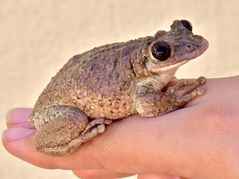 venomous frog