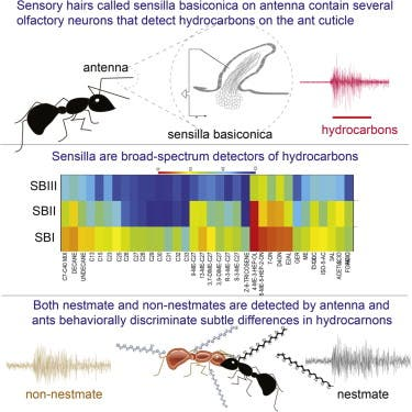 The broad-spectrum sensitivity of Camponotus laevigatus allows these ants to detect CHCs from both nestmates and non-nestmates.  Image: Cell Reports