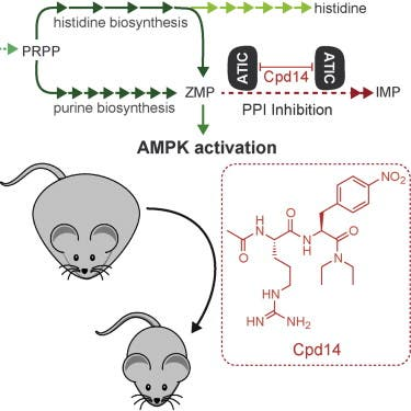 AMPK activation by Compound 14 (Cpd14). Image from Asby et al.