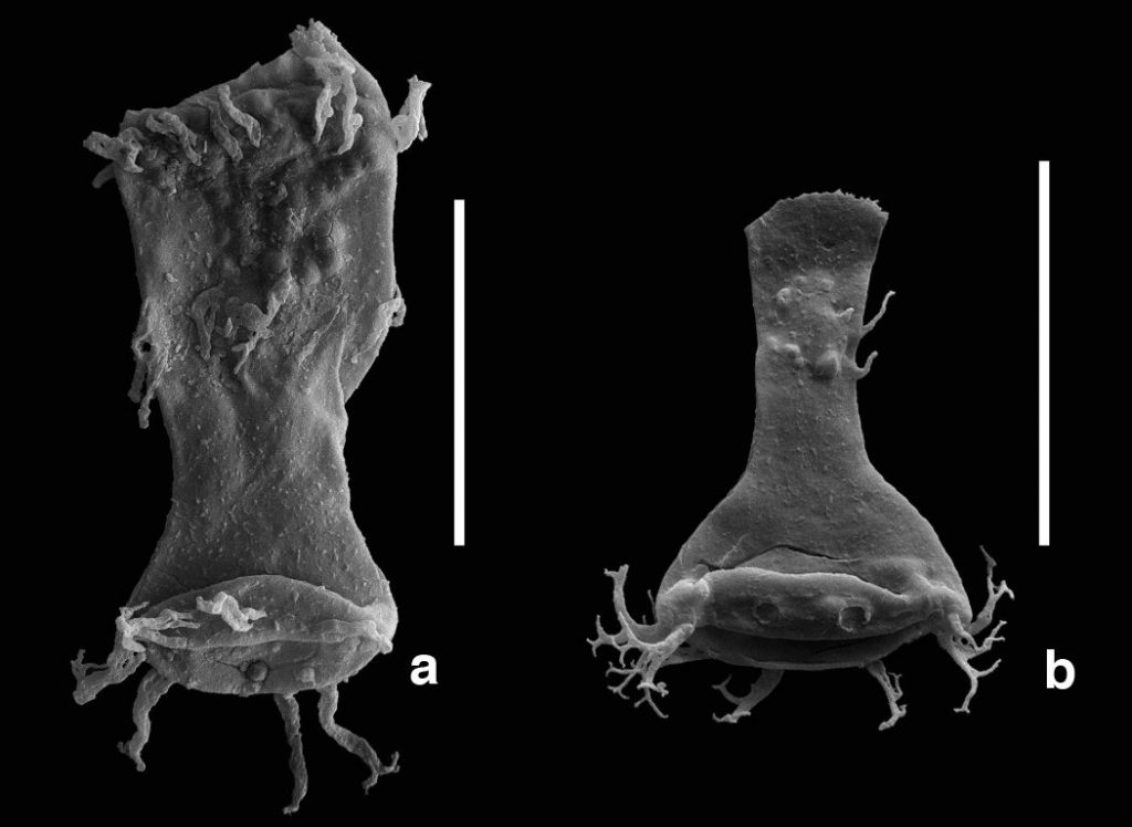 A malformed ('teratological') chitinozoan specimen of the genus Ancyrochitina (a) and a morphologically normal specimen (b) of the same genus. Image: Dr Thijs Vandenbroucke