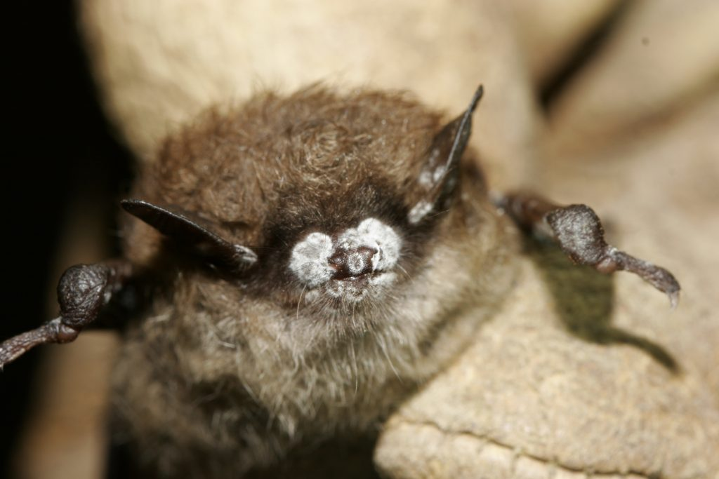 A diseased bat infected with White Nose syndrome. Image: Wisconsin Watch