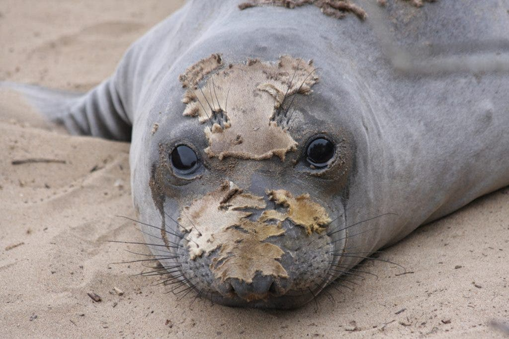 Moulting elephant seal
