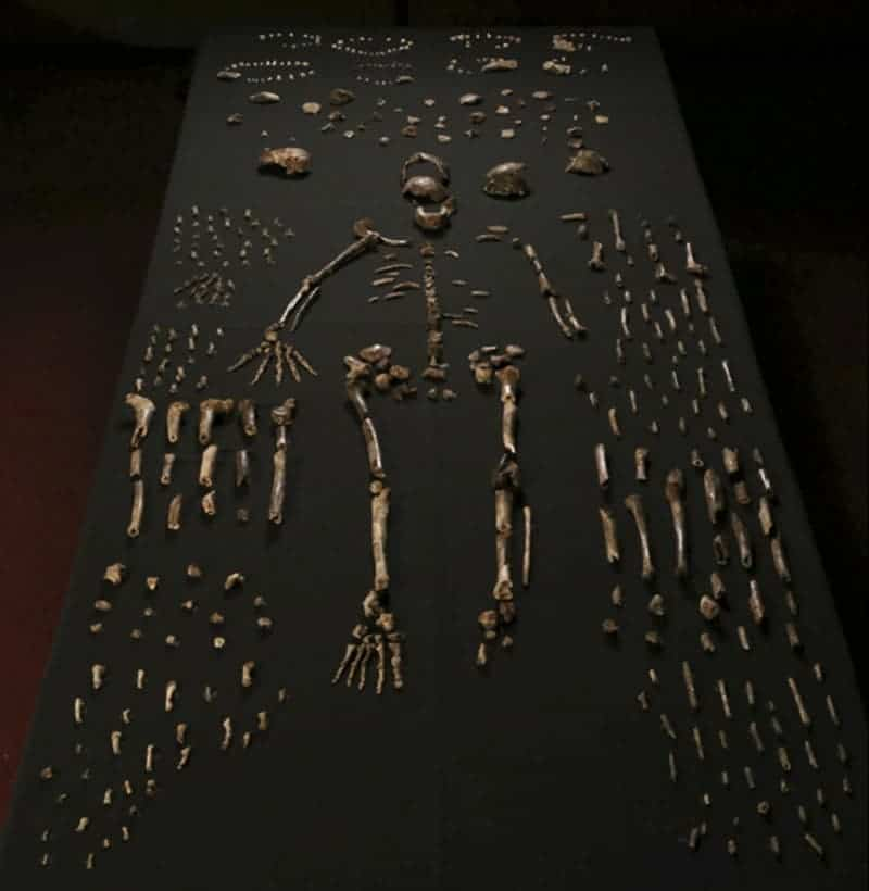 Researchers unearthed fossils from at least 15 individuals belonging to the newfound species, Homo naledi. Image: Berger et al. eLife 2015;