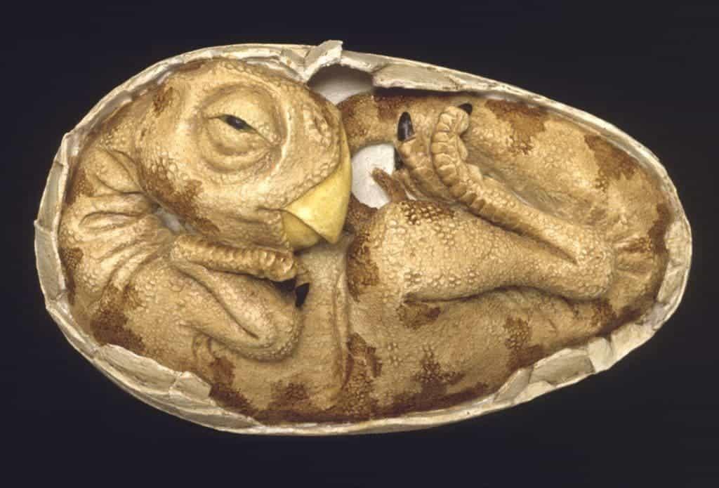 An oviraptor embryo. Credit: Waikato Museum