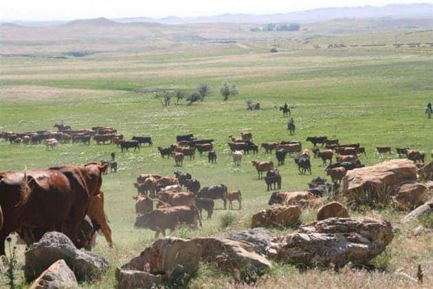 cattle in wyoming