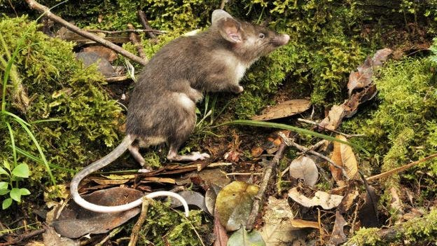 The hog-nosed rat also has longer teeth and tail than other rodents. Image: Museum Victoria