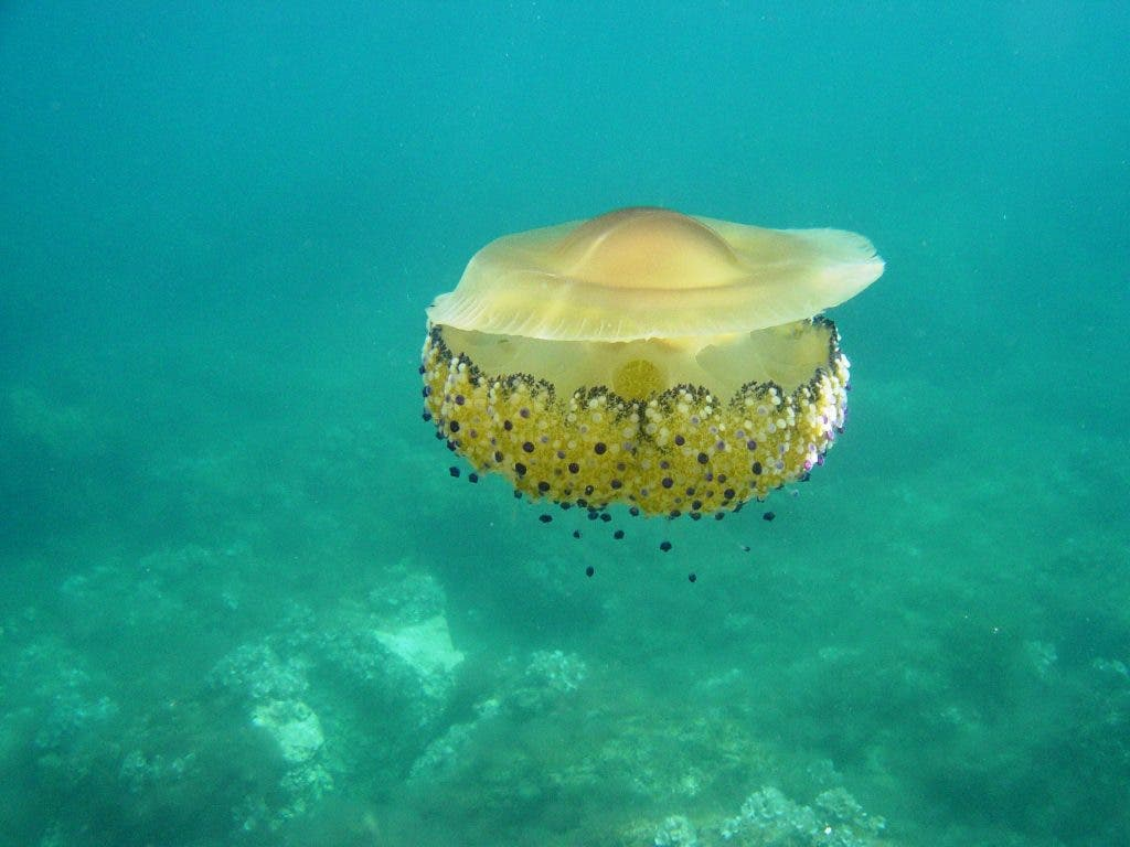 featured creature the fried egg jellyfish