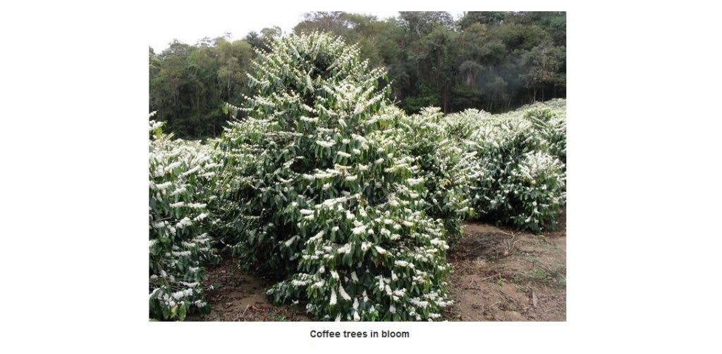 coffee trees in bloom
