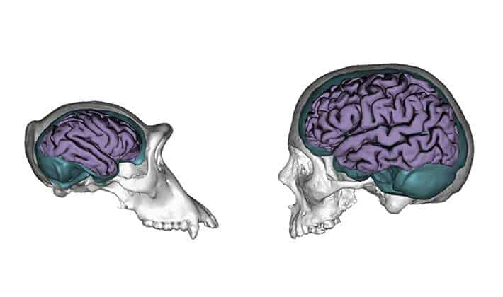 Three-dimensional models of chimpanzee and human skulls showing their endocranial casts (teal) and brains (purple). Credit: Jose Manual de la Cuetara/Aida Gomez-Robles Read more at: http://phys.org/news/2015-11-nature-nurture-human-brains-evolved.html#jCp