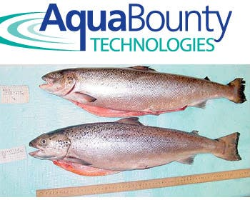 the benefits in consuming genetically modified salmon Aquabounty's salmon, officially named aquadvantage salmon, has been  step  toward human consumption of their salmon when the government of  will  debate the risks and benefits of the genetically modified salmon on.