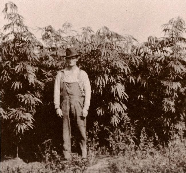 Hemp was also used for clothing, paper, in concrete, and even as food.