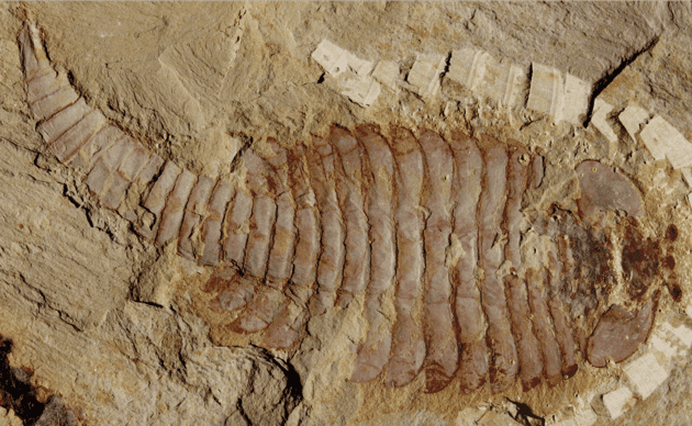 The original 520-million-year-old Fuxianhuia protensa specimen from the Chenjiang fossil beds in southwest China. Image credits: XIAOYA MA, LONDON MUSEUM OF NATURAL HISTORY