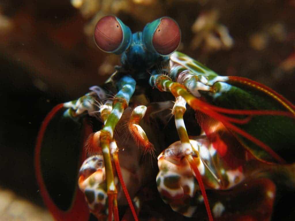 Shrimps communicate using a secret, polarized light language