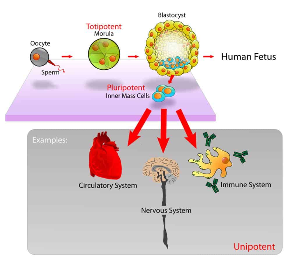 Pluripotent, embryonic stem cells originate as inner mass cells within a blastocyst. (Credit: Mike Jones for Wikipedia)
