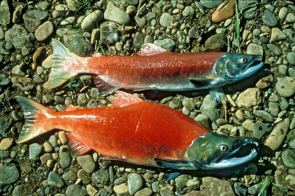red-salmon-942977_1280
