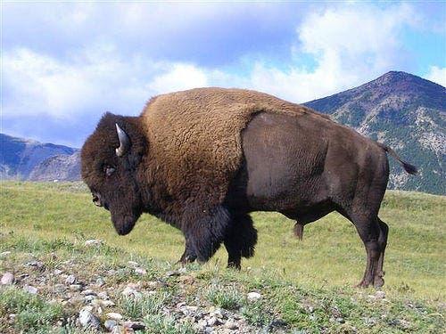 bison - photo #24
