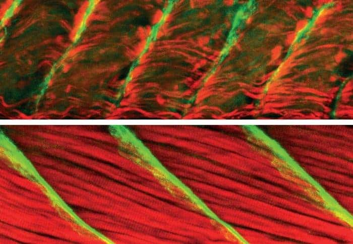 Zebrafish tail muscles with faulty Popeye gene (top) and healthy gene (below). Image via imperial
