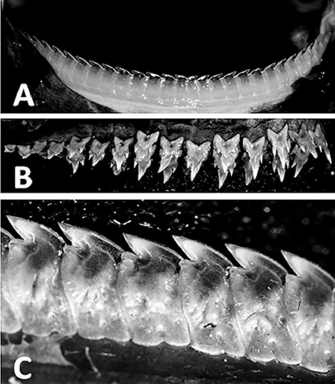 Etmopterus benchleyi, n. sp., adult female paratype. Image credits: Vicky Vasquez.