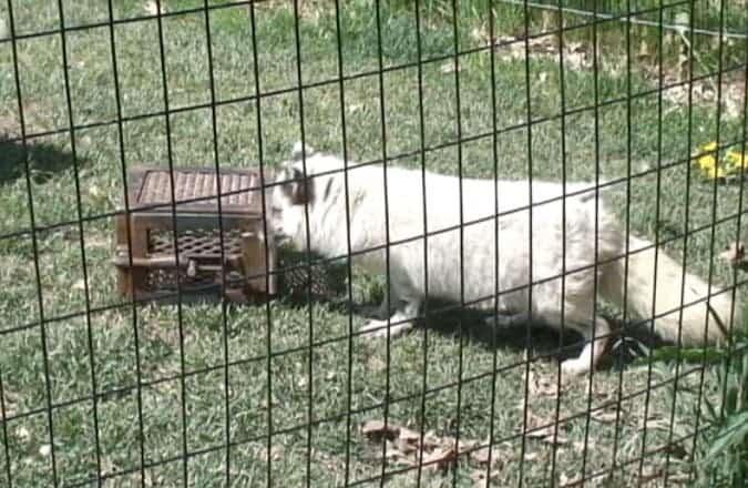 Artic fox paws a box.