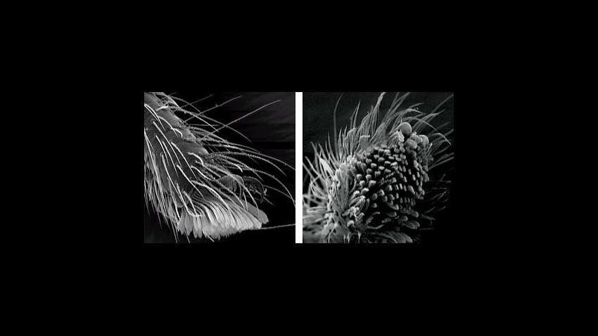 Setae on the bottoms of their feet (right) help spiders stick to ceilings. Image: University of Oxford