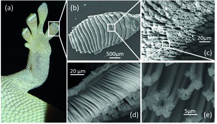 (a) toe pads to (b) lamellae to (c) top view and (d) side view of setal arrays to (e) spatulae. Right: Tim Sullivan