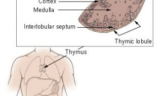 The thymus is an organ where T-cells mature, and may be a source of regulatory T-cells that have the potential to treat autoimmune disease.