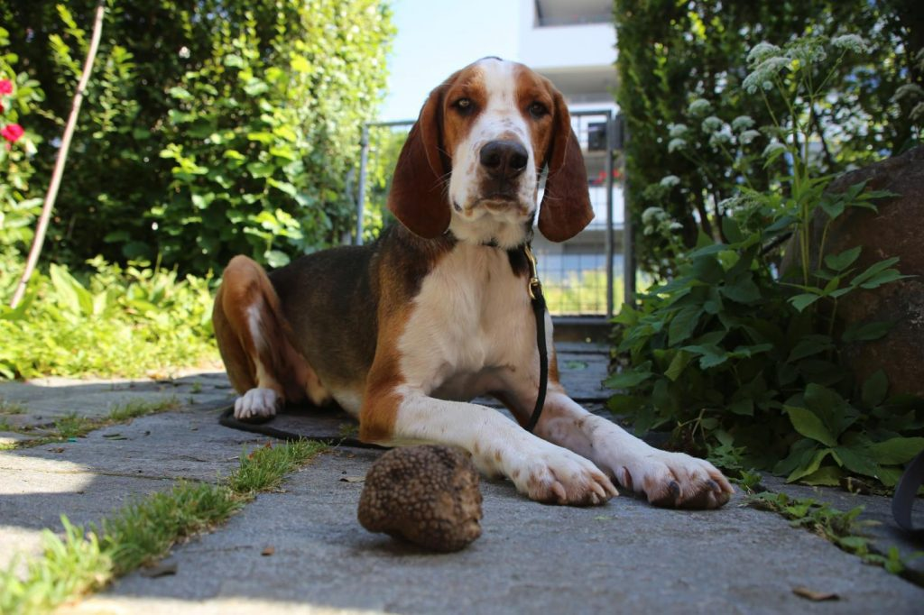 Miro is a trained truffle dog that belongs to Simon Egli, a co-author of the Biogeosciences paper based at Swiss Federal Research Institute WSL. He's pictured here with a Burgundy truffle he found in Switzerland. CREDIT Simon Egli, WSL