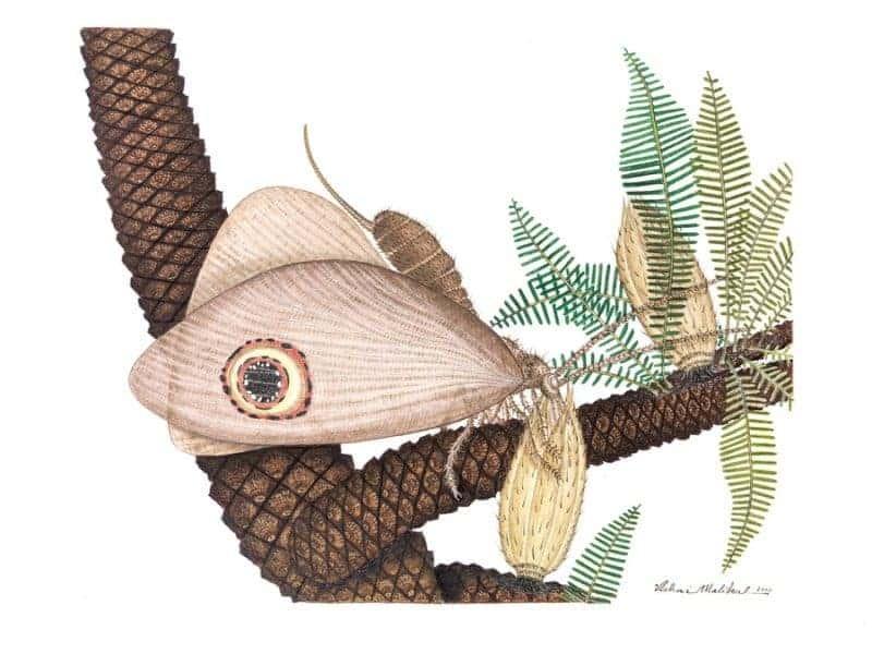 Artist's rendering of Oregramma illecebrosa. Image: ichai Malikul