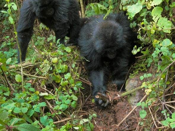 Rwema and Dukore dismantle snares laid by poachers. Credit: DIAN FOSSEY GORILLA FUND