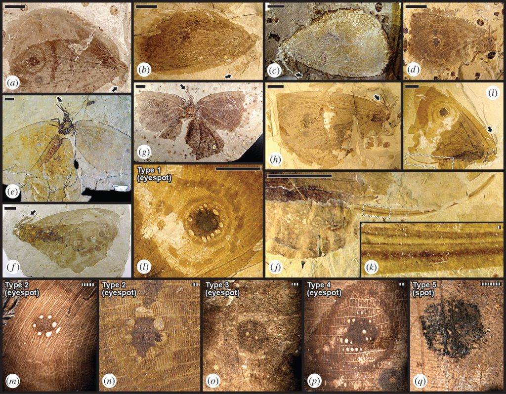 The Kalligrammatid fossils clearly exhibit eye spots. Image: Proceeding of Royal Society B