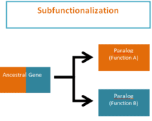After gene duplication, the copied gene may evolve to gain new functions.