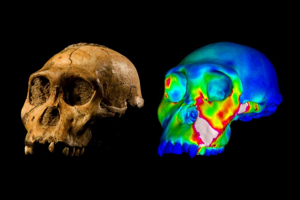 "This is the fossilized skull of Australopithecus sediba specimen MH1 and a finite element model of its cranium depicting strains experienced during a simulated bite on its premolars. ""Warm"" colors indicate regions of high strain, while ""cool"" colors indicate regions of low strain. Credit: Image of MH1 by Brett Eloff provided courtesy of Lee Berger and the University of the Witwatersrand."