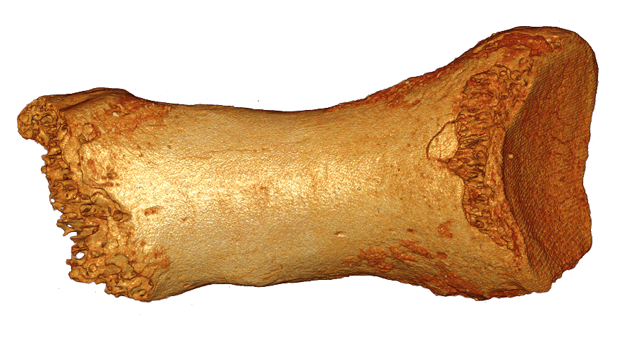 Dorsal Neanderthal bone found in a cave in the Altai Mountains in southern Siberia. (c) Bence Viola