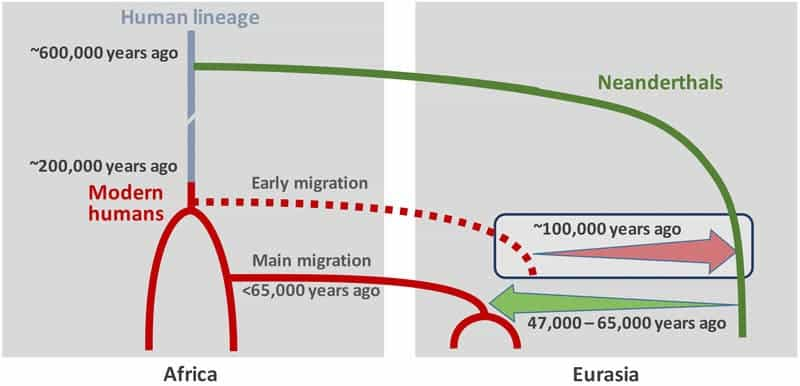 Scenario of interbreeding between modern humans and Neanderthals: Neanderthal DNA in present-day humans outside Africa originates from interbreeding that occurred 47,000 - 65,000 years ago (green arrow). Modern human DNA in Neanderthals is likely a consequence of earlier contact between the two groups roughly 100,000 years ago (red arrow). Image: Ilan Gronau