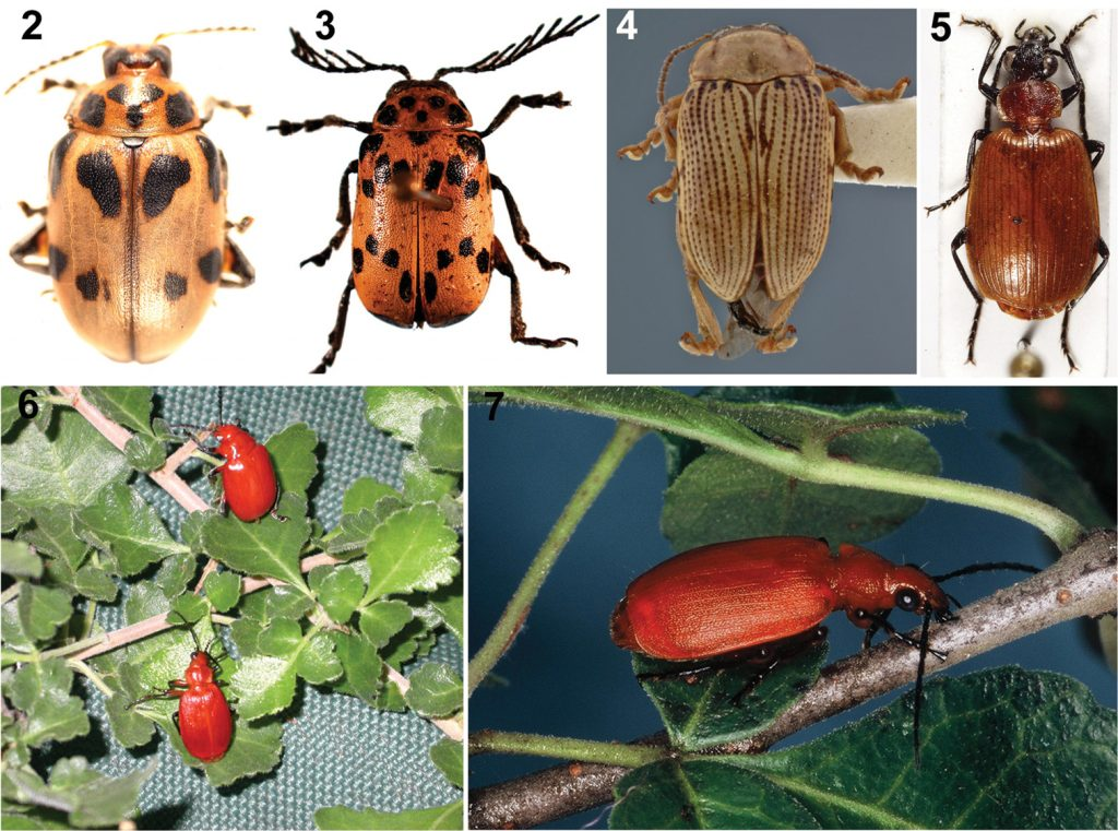 Arrow-poison beetles of the San people and their host plants (photos: CS Chaboo, or indicated if otherwise). 2 Diamphidia nigroornata Ståhl (=D. simplex Péringuey, =D. locusta Fairmaire), Namibia (Chrysomelidae) 3 Polyclada sp. (Chrysomelidae) 4 Blepharida sp., Kenya (photo: C Smith, USNM) 5 Lebistina sp. (Carabidae) 6 Diamphidia femoralis (above) and its predator-parasitoid enemy, Lebistina (below), on Commiphora plant in South Africa (photo: K Ober) 7 Lebistina sanguinea (Boheman) adult beetle on a Commiphora plant in South Africa (photo: E. Grobbelaar, SANC, ARC-PPRI).
