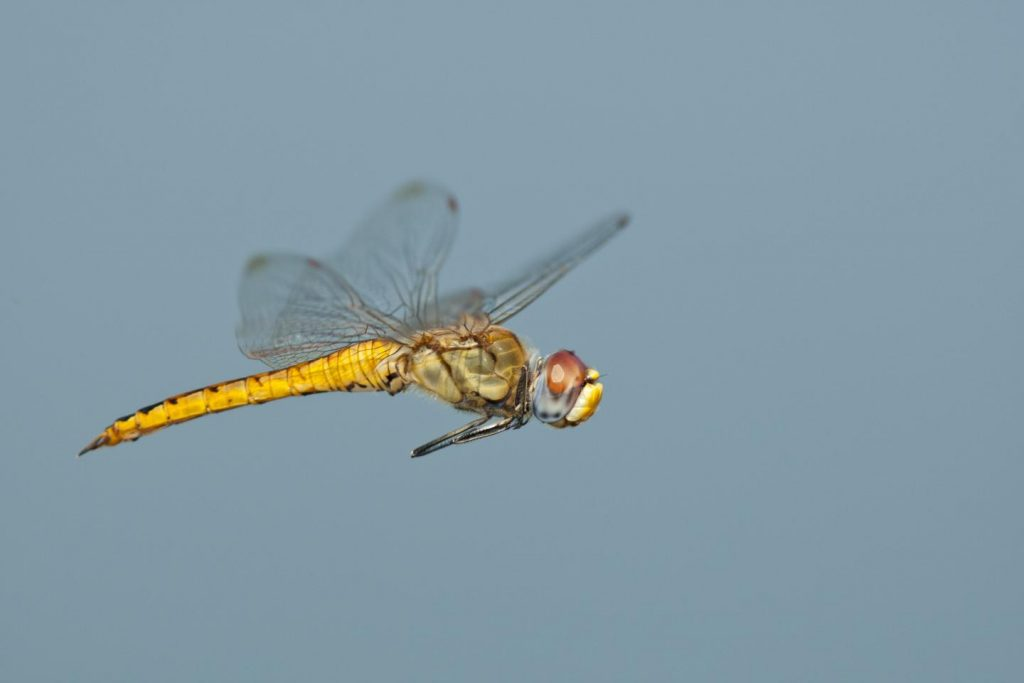 The body and wings of the dragonfly Pantala flavescens have evolved in a way that lets the insect glide extraordinary distances on weather currents. Photo: Greg Lasley