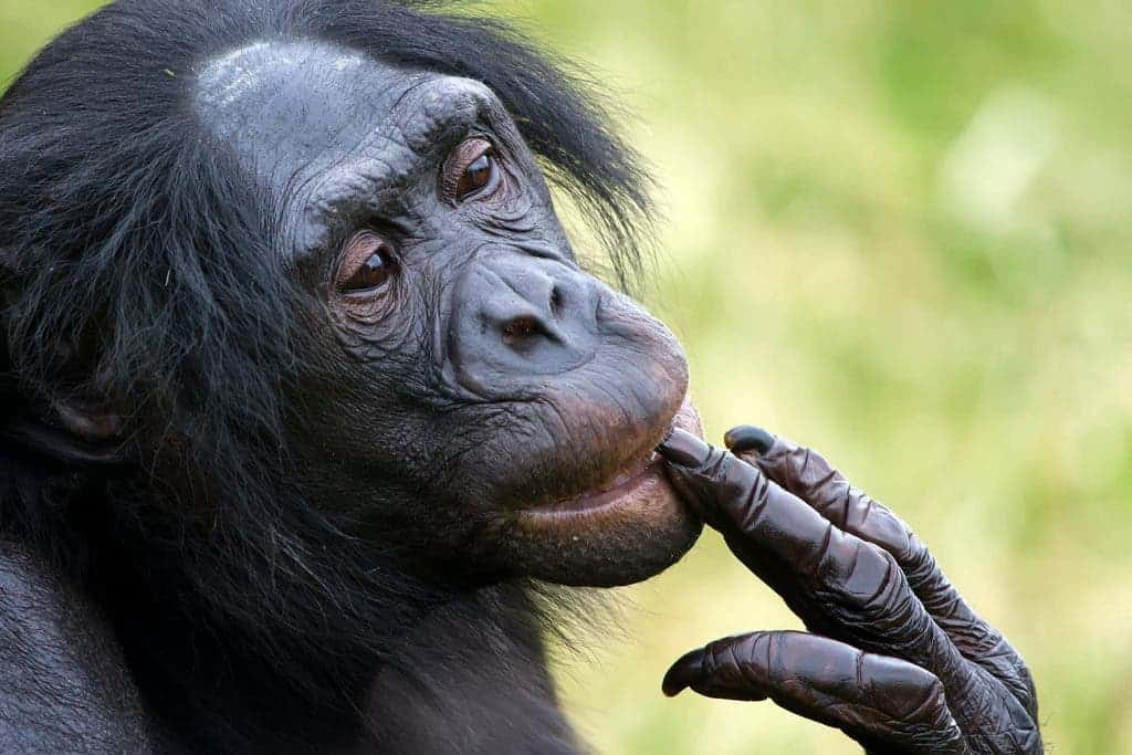 Bonobos Remember Their Old Friends Voices Even After Years Of