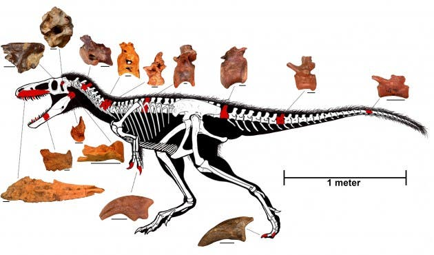 "Reconstructed skeleton of ""Timurlengia euotica"" with discovered fossilized bones, highlighted in red. Credit: t Proceedings of the National Academy of Sciences"