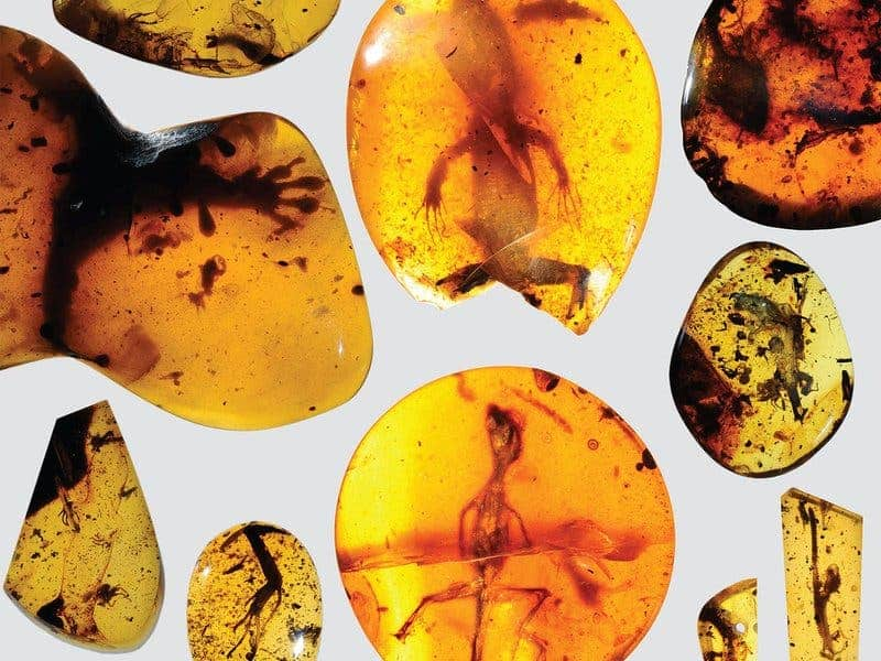 These ancient lizards trapped in amber will help researchers patch up the incomplete fossil records. Image: David Grimaldi