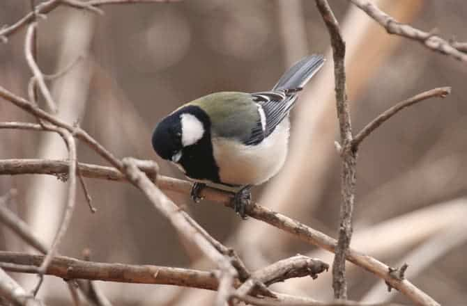 the japanese great tit