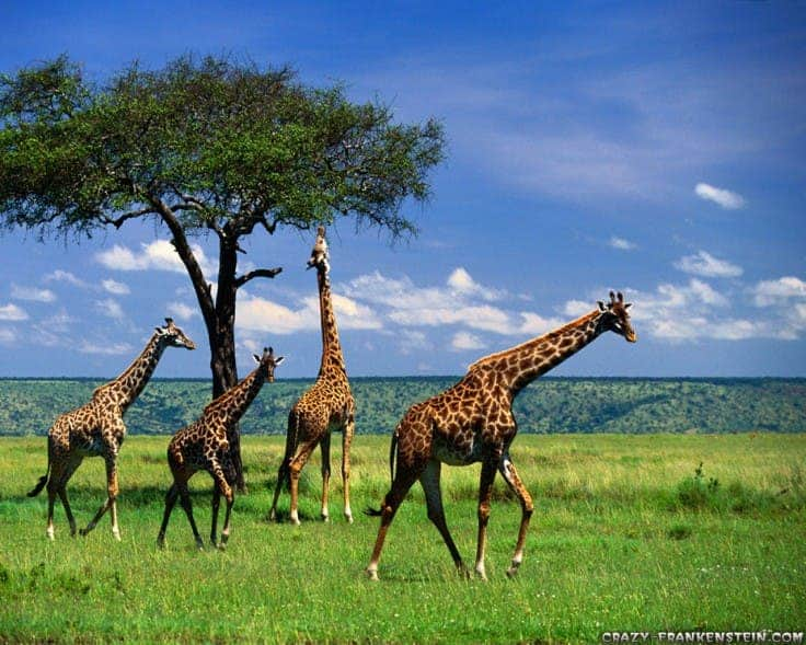 an overview of theories explaining the evolution of the giraffe neck The neck of a giraffe (giraffa camelopardalis) is a marvellous thing  may be  able to provide a comprehensive explanation for giraffe evolution  an outline of  that pattern came out of a review published in 2009 by n ludo.