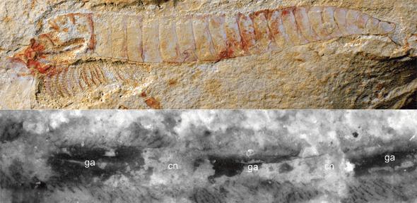 Complete specimen of Chengjiangocaris kunmingensis from the early Cambrian Xiaoshiba biota of South China. Bottom: Magnification of ventral nerve cord of Chengjiangocaris kunmingensis. Credit: Top: Jie Yang, Bottom: Yu Liu