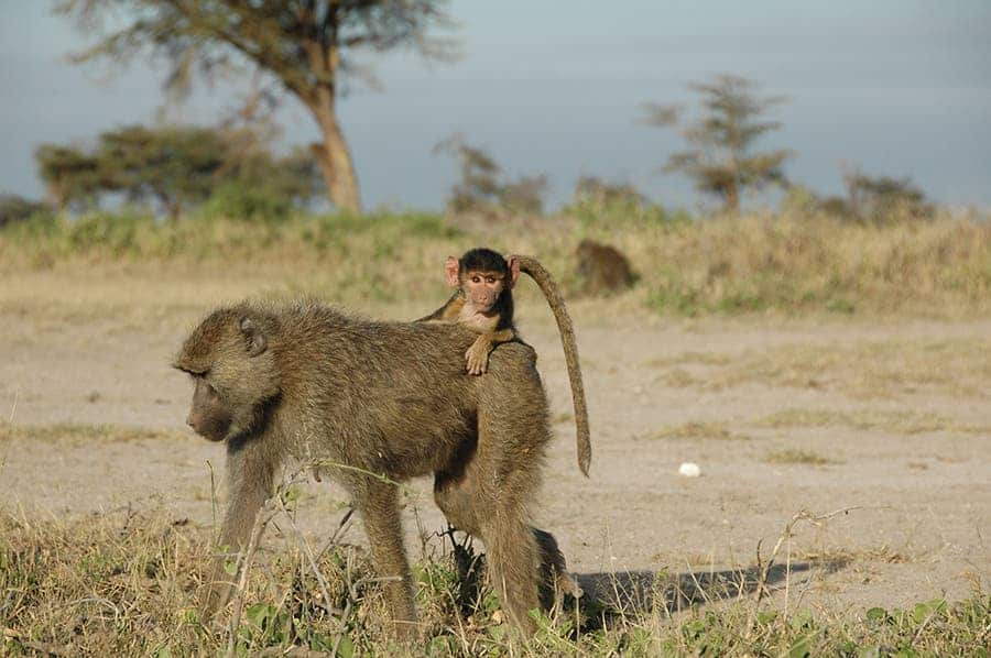 A four-month old infant baboon rides on its mother's back near Amboseli National Park in Kenya. Credit: Susan Alberts, Duke University