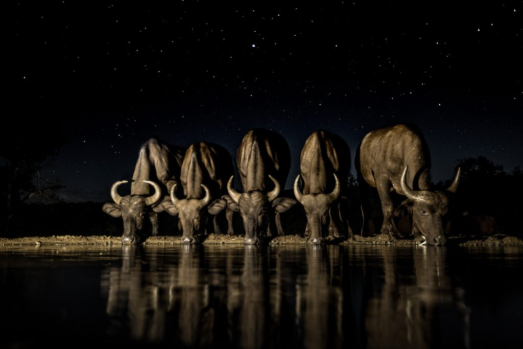 In the still of a star lit night, buffalo cautiously approach to quench their thirst. A long exposure with light painting allows me to capture the moment forever