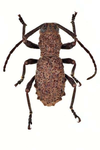 This is a male specimen of the new long-horned beetle species. Credit: Radim Gabriš
