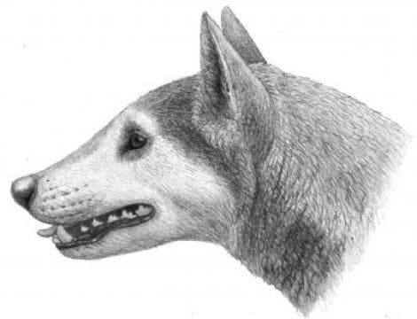 "Illustration of Cynarctus by Mauricio Antón from ""Dogs, Their Fossil Relatives and Evolutionary History."" Photo: University of Pennsylvania"