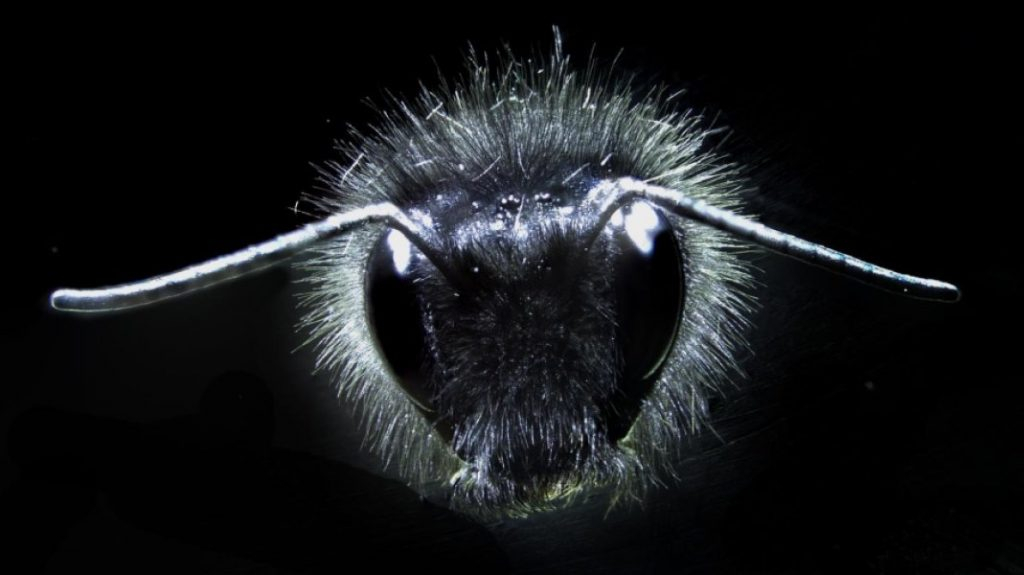 Bumblebee hairs. Credit: University of Bristol