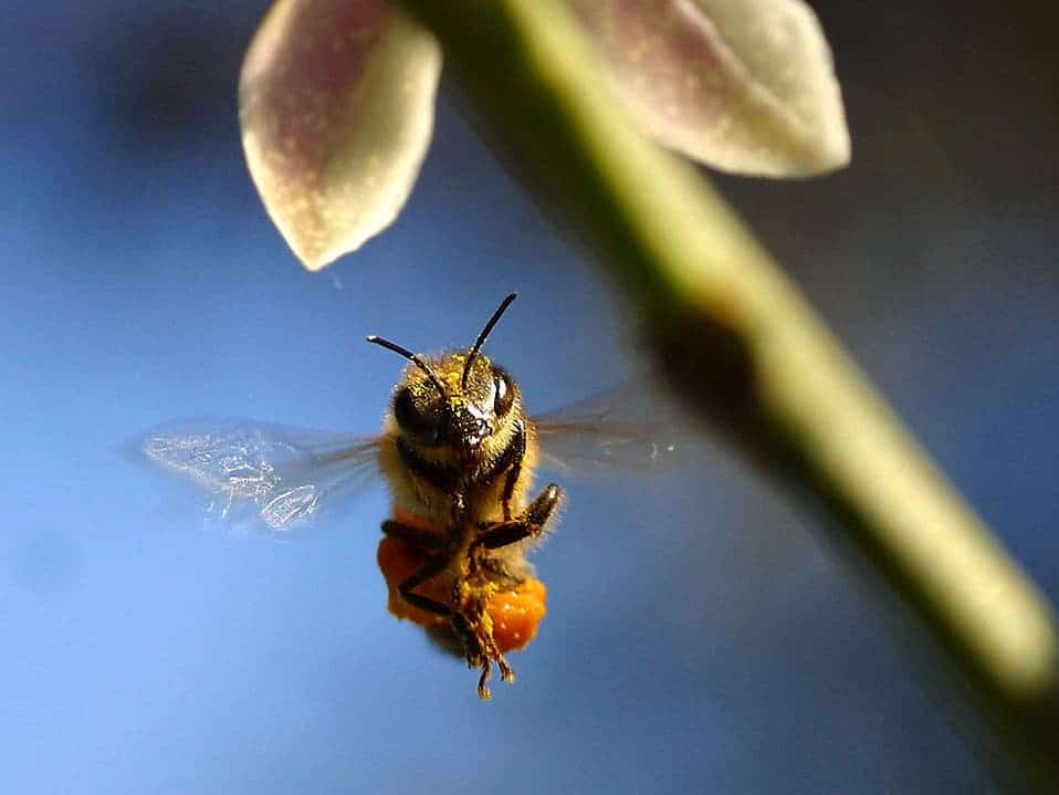 Closeup of a bee flying by a green plant. Credit: Jon Sullivan, Public Domain licence