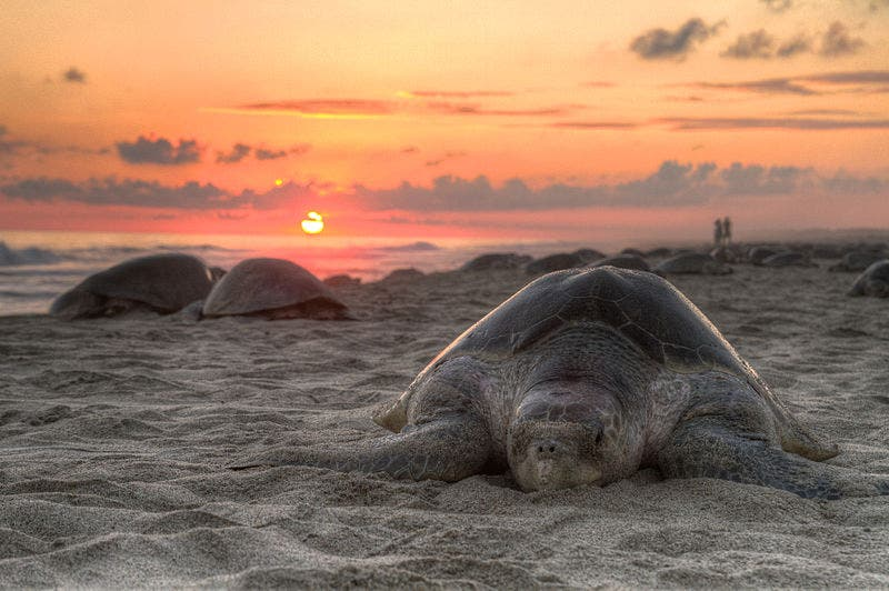 An Olive ridley turtle nesting on Escobilla Beach, Oaxaca, Mexico. Credit: Wikimedia Commons